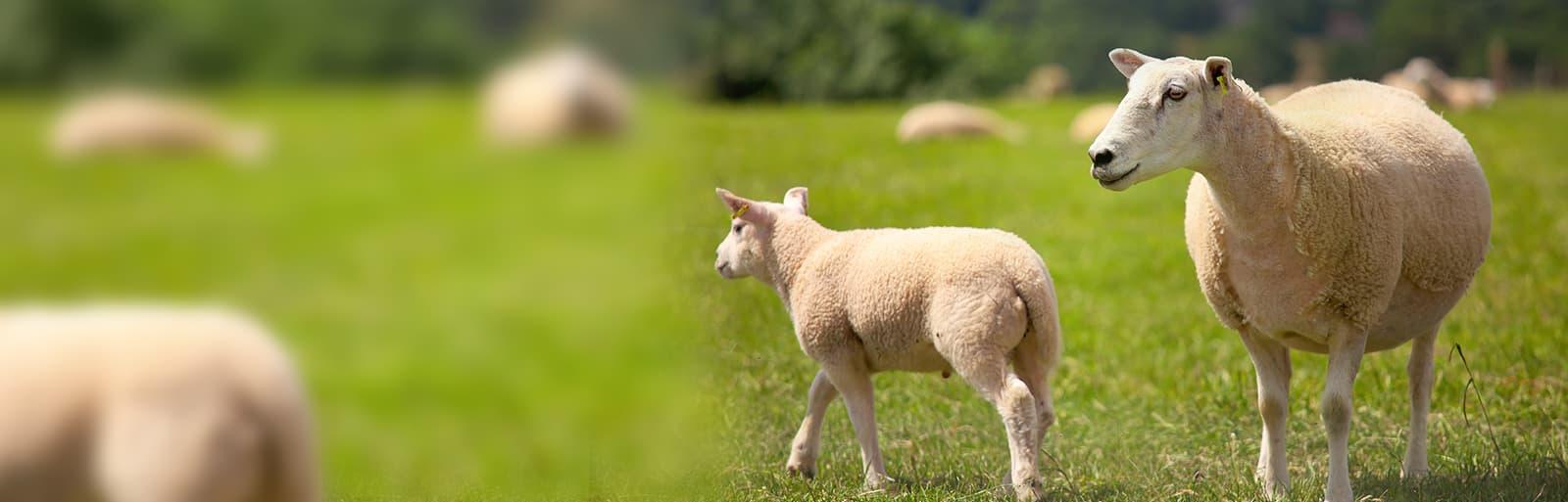 isovin logiciel de gestion de troupeau ovin