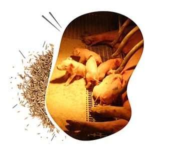 pigup permet d'optimiser facilement son élevage porcin